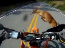 accident moto chevreuil