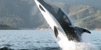 dauphin mecanique
