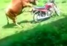 taureau moto